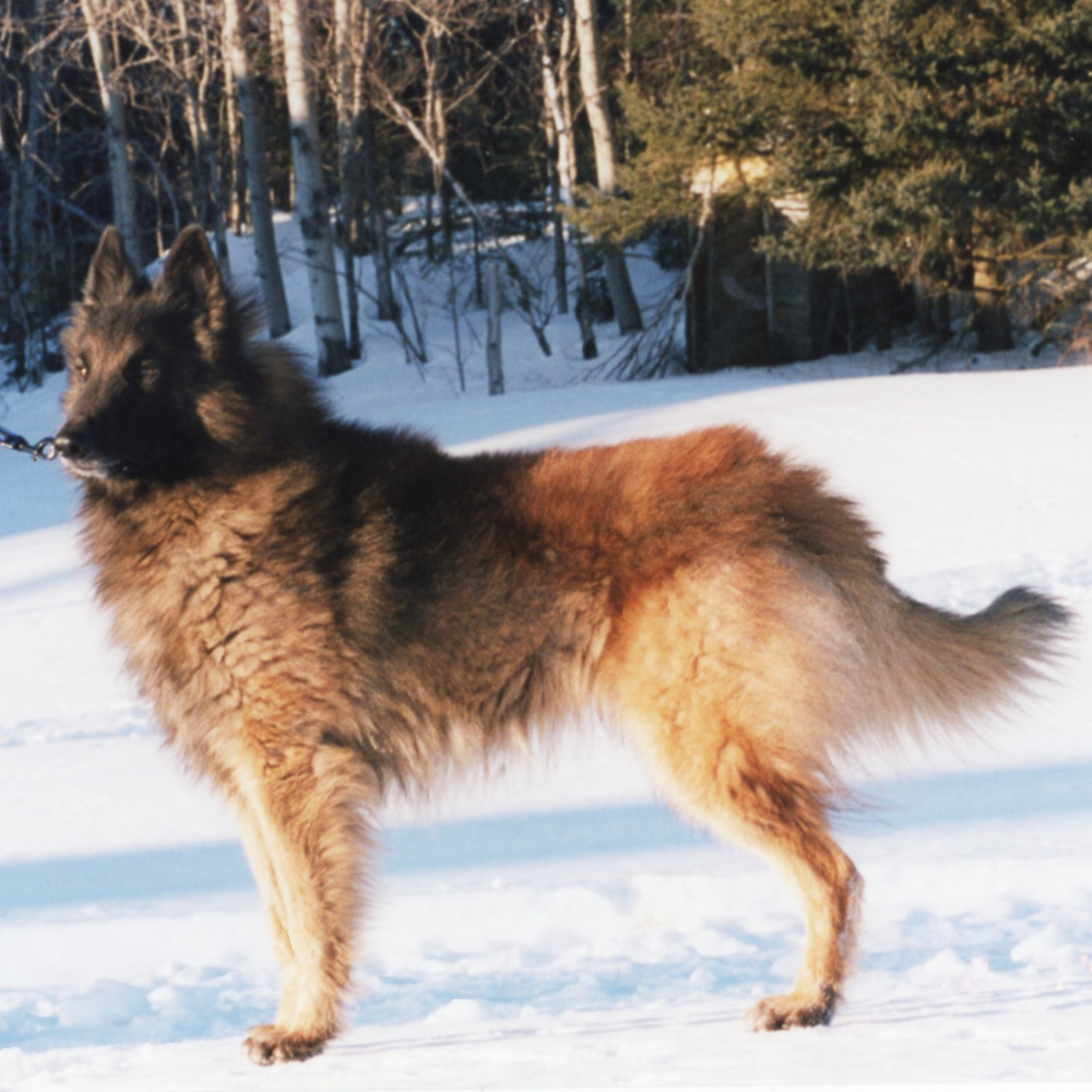 A Belgian Shepherd, tervueren in winter. We have been breeding competition dogs for a long time.